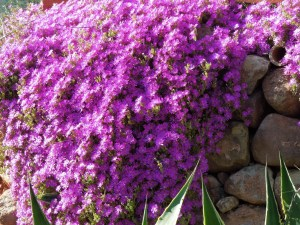 Drosanthemum hispidum: Rocío Púrpura o Uña de Gato. 2