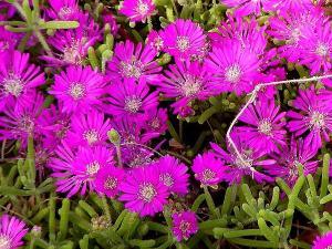 Drosanthemum hispidum: Rocío Púrpura o Uña de Gato. 1