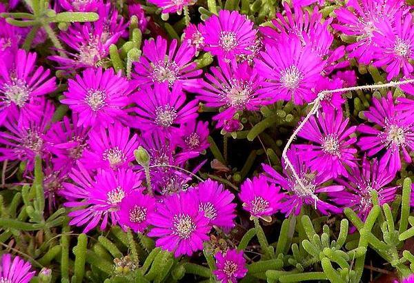 Drosanthemum hispidum: Rocío Púrpura o Uña de Gato.