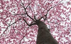 Hanami: Deleitarse observando florecer a los árboles 3