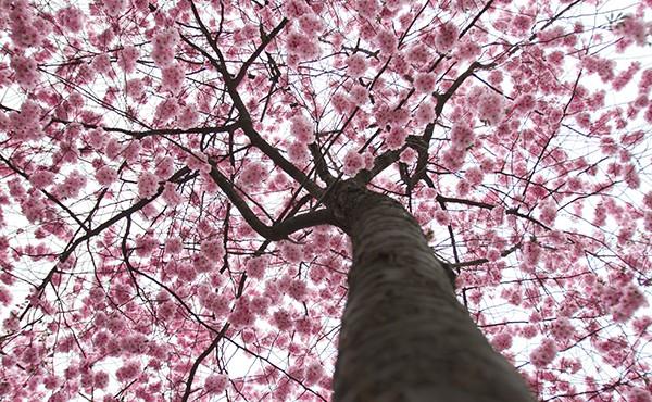 Hanami: Deleitarse observando florecer a los árboles