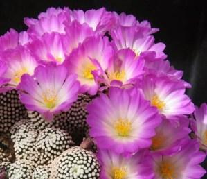 Mammillaria luethyi, un cactus maravilloso en peligro de extinción 2