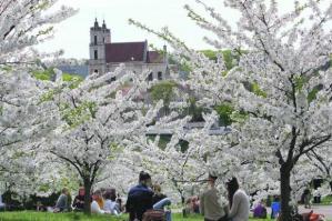 Hanami: Deleitarse observando florecer a los árboles 1