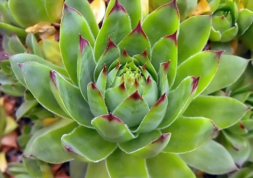 Sempervivum Tectorum. Planta Siempreviva.