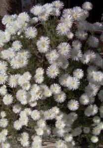 Drosanthemum hispidum: Rocío Púrpura o Uña de Gato. 3