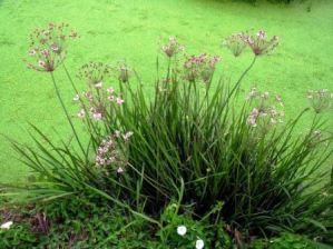 Junco Florido: Butomus umbellatus 3