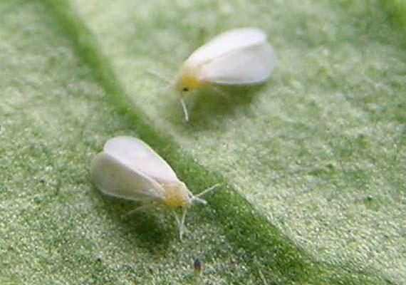 Mosca blanca, amenaza para las plantas