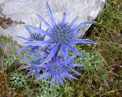 Eryngium bourgatii: Cardo azul o cardo de Magdalena