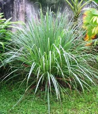 Cymbopogon citratus: Planta del limoncillo