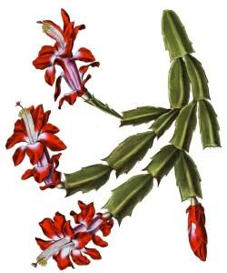 La Schlumbergera o Cactus de Navidad 2