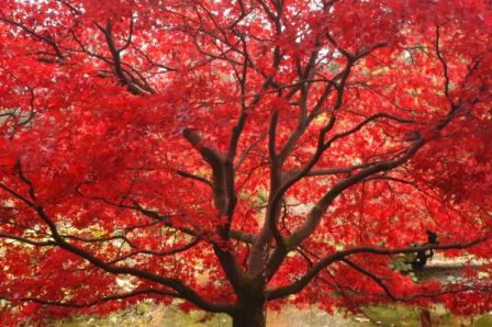 Parrotia pérsica: El árbol de hierro
