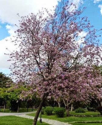 Bauhinia variegata: Árbol de Pata de Vaca