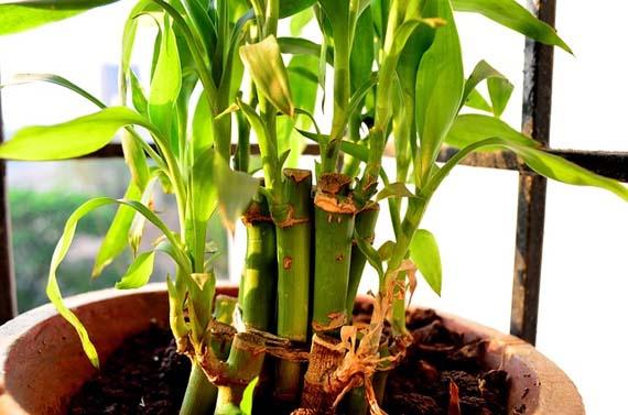 Consejos de cuidado del bambú