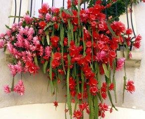 Epiphyllum o Pluma de Santa Teresa