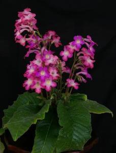 Streptocarpus o estreptocarpo 2