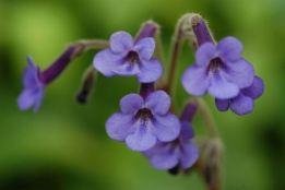 Flor streptocarpus