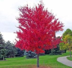 Acer Rubrum: El arce rojo americano 1