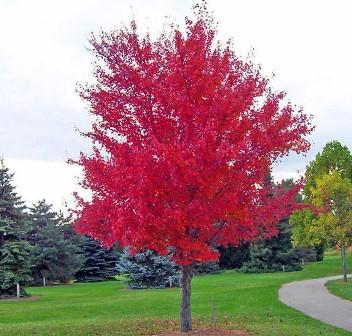 Arce rojo americano – Acer Rubrum