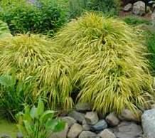 Hakonechloa macra o hierba de Japón. 2