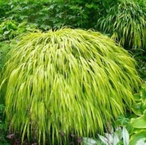 Hakonechloa macra o hierba de Japón. 1