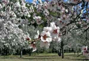 Marzo: almendros en flor 4
