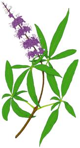 Sauzgatillo, la planta que ayuda a las mujeres 3