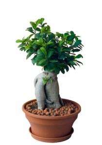 Ficus microcarpa ginseng 1