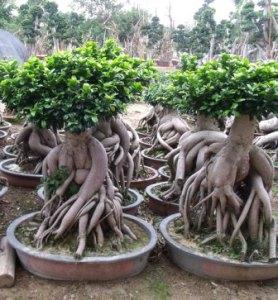Ficus microcarpa ginseng 2