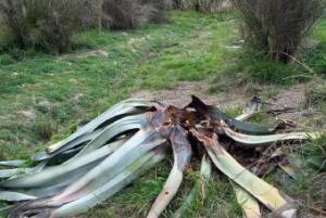 ¿Por qué se mueren las pitas en la Costa Mediterránea? 1