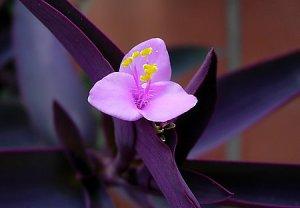 Tradescantia-purpurea-flor