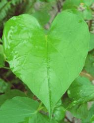 Ipomoea hojas