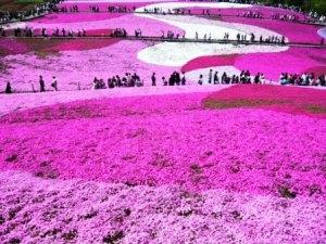 El parque Higashimokoto, jardín de Flox Musgoso 2