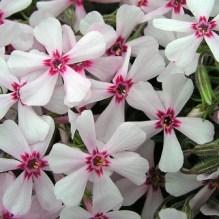Flores del Flox musgoso