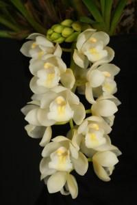 La orquídea Cascada de Hielo o Sara Jean 6