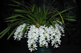 La orquídea Cascada de Hielo o Sara Jean 1