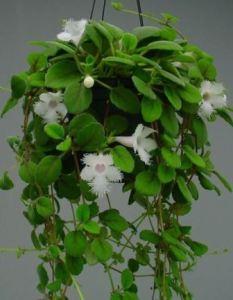 Alsobia dianthiflora cesta