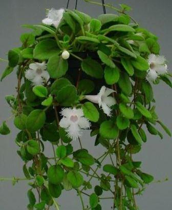 Alsobia dianthiflora