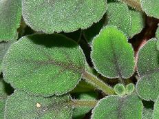 Alsobia dianthiflora 3