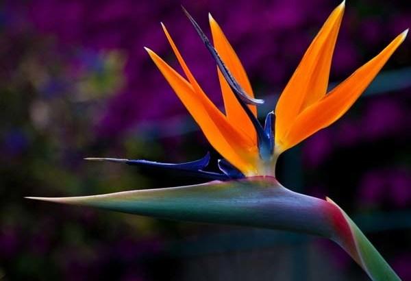 Crea tu jardín exótico con las  Strelitzias