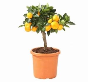 Calamondín: Naranjo miniatura 1