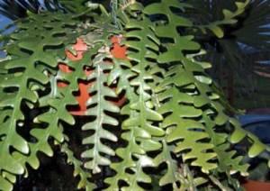 Epiphyllum anguliger: Cactus Ric Rac 1
