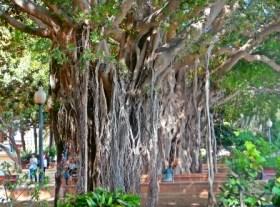 Ficus Alicante