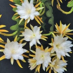 Epiphyllum anguliger: Cactus Ric Rac 4