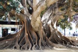 Los ficus gigantes de Alicante 5