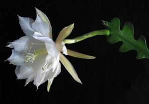 Epiphyllum anguliger: Cactus Ric Rac 3