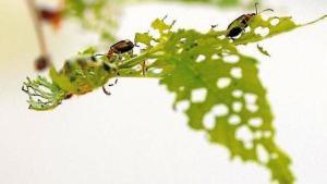 escarabajos-olmo--644x362