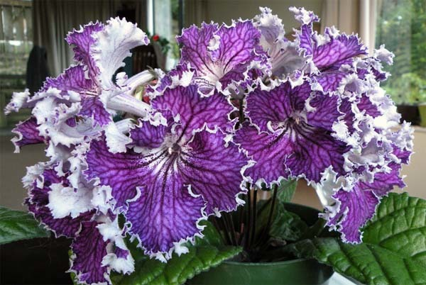 Streptocarpus, una estupenda planta de interior