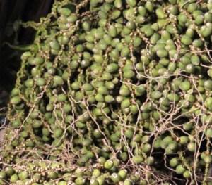 Syagrus-romanzoffiana-Palmspace-plantas-y-palmeras-resistentes-frio-JL3_4575
