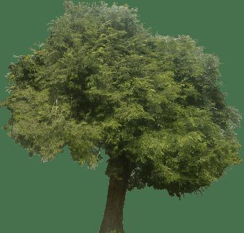 Tamarindo: Tamarindus indica