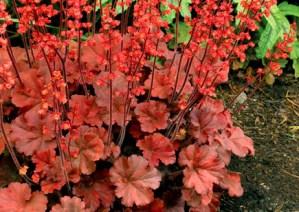 heuchera-coral-bells1